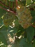 vin de savoie aligoté