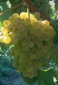 vins de Provence bourboulenc