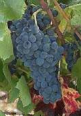 vins de Provence carignan