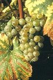 vin du jura chardonnay