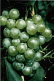 vin de savoie chasselas
