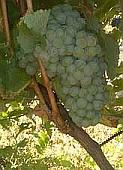 vin laguedoc roussillon chenin