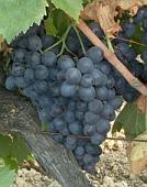 vins de Provence cinsault