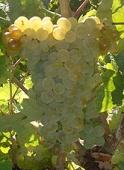 vins vallée du rhone clairette