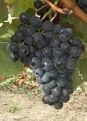 vin laguedoc roussillon cot