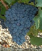 vin laguedoc roussillon grenache noir