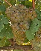 vins vallée du rhone marsanne