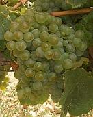 vin laguedoc roussillon mauzac