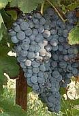 vin laguedoc roussillon merlot