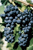 vin de savoie pinot mondeuse