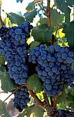 vin laguedoc roussillon mourvèdre