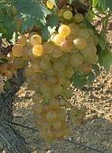 vin laguedoc roussillon muscat