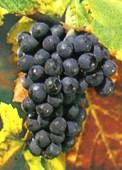 vins du val de loire pinot noir
