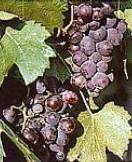 vin du jura poulsard