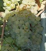 vins de Provence rolle