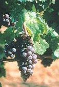 vins de Provence tibouren