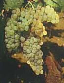vins de Provence ugni