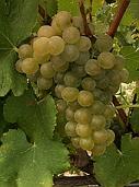 vins vallée du rhone viognier